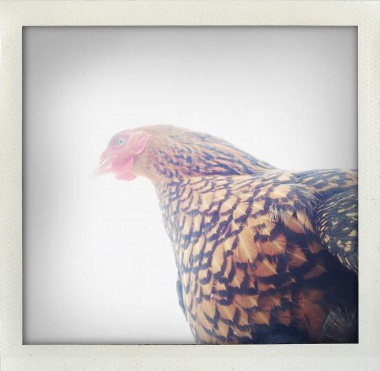 'Katrin's Chicken' - archival Hanhnemühle 310 gsm, framed. $1200